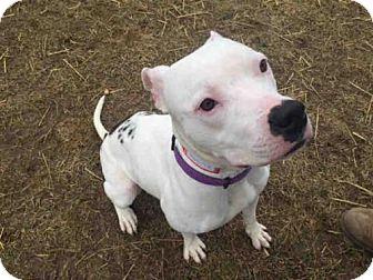 Pit Bull Terrier Dog for adoption in Fulton, Missouri - Dymond *Illinois
