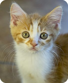 Domestic Shorthair Kitten for adoption in Chicago, Illinois - Theon