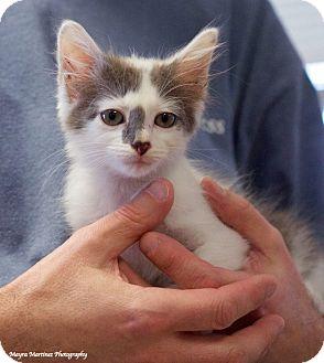 Domestic Shorthair Kitten for adoption in Huntsville, Alabama - Picasso