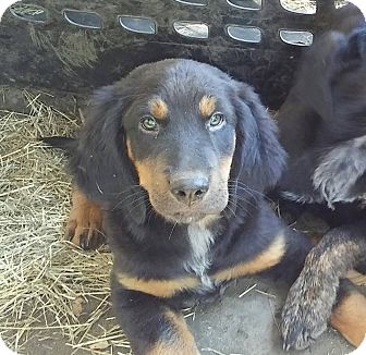 Rottweiler/Labrador Retriever Mix Puppy for adoption in Matawan, New Jersey - Zeus (adoption pending)