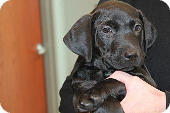 Labrador Retriever Mix Puppy for adoption in Naperville, Illinois - Ember