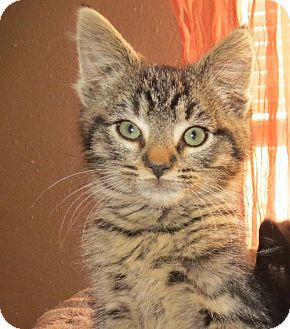 Domestic Shorthair Kitten for adoption in Vacaville, California - Taran