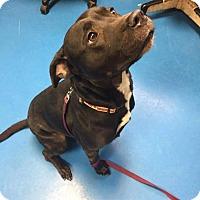 Adopt A Pet :: Dasha - Villa Park, IL
