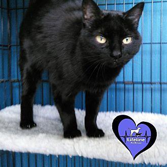 Domestic Shorthair Cat for adoption in Huntsville, Alabama - Raven