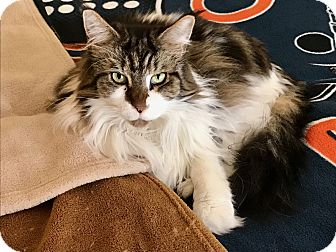 Maine Coon Cat for adoption in Orland Park, Illinois - Bella & Gabriella