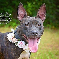 Staffordshire Bull Terrier Mix Dog for adoption in Allen town, Pennsylvania - Mercy