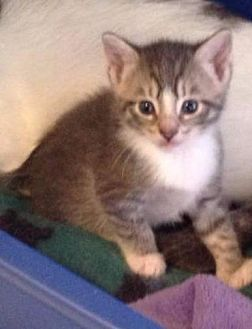 Domestic Shorthair Kitten for adoption in Freeport, New York - Juan