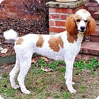 Adopt A Pet :: Sansa - Little Rock, AR