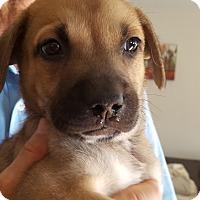 Adopt A Pet :: Nello - Evergreen, CO