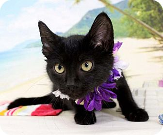 Domestic Shorthair Cat for adoption in Harrisonburg, Virginia - Tony