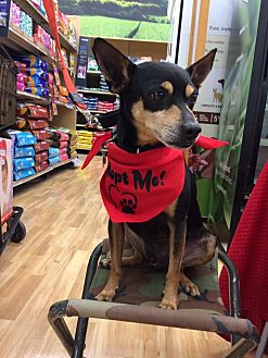 Miniature Pinscher Mix Dog for adoption in Waipahu, Hawaii - Max