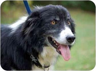Border Collie Dog for adoption in Cincinnati, Ohio - Drew - Foster Home Needed