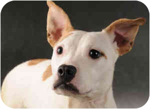 Jack Russell Terrier/Pit Bull Terrier Mix Dog for adoption in Chicago, Illinois - Sweetie(ADOPTED!)