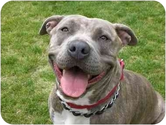 American Pit Bull Terrier/American Staffordshire Terrier Mix Dog for adoption in San Pedro, California - Skye