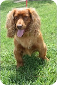 Sussex Spaniel/Cocker Spaniel Mix Dog for adoption in Sugarland, Texas - Stump