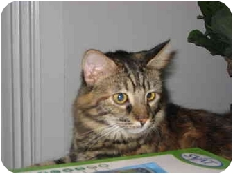 Maine Coon Cat for adoption in Jeffersonville, Indiana - Kenzie