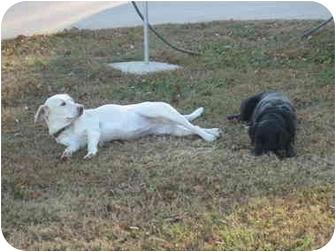 Labrador Retriever Mix Dog for adoption in Salem, New Hampshire - Mazie
