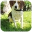 Photo 1 - Beagle Mix Dog for adoption in Honesdale, Pennsylvania - Molly Brown