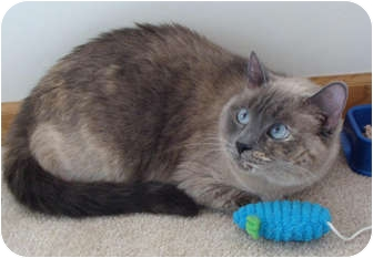 Siamese Cat for adoption in Owatonna, Minnesota - Lucy