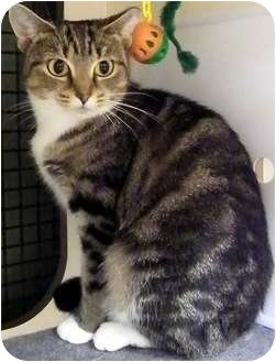 Domestic Mediumhair Kitten for adoption in Alexandria, Virginia - Maybeline