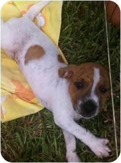 Pointer/Boxer Mix Puppy for adoption in Homestead, Florida - Chanel