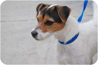 Jack Russell Terrier Dog for adoption in Dallas/Ft. Worth, Texas - Pixie in Dallas