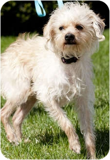 Terrier (Unknown Type, Small) Mix Dog for adoption in Mt. Prospect, Illinois - Karmello