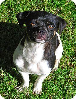 Pug/Beagle Mix Dog for adoption in El Cajon, California - Jones
