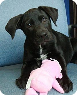 Labrador Retriever Mix Puppy for adoption in Red Bluff, California - Tully