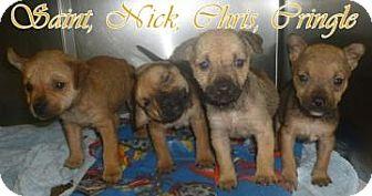 Shiba Inu Mix Puppy for adoption in Georgetown, South Carolina - Nick