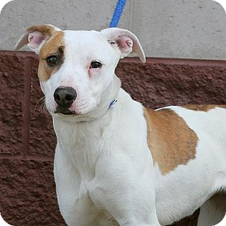 Pit Bull Terrier Mix Dog for adoption in Springfield, Illinois - Pretty Girl- Top Priority