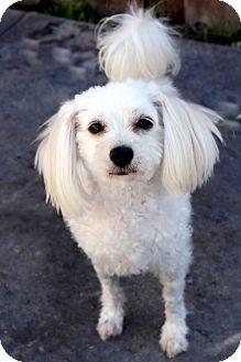 Maltese/Poodle (Miniature) Mix Dog for adoption in Winnetka, California - OLIVIA