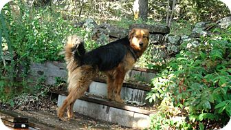 Shepherd (Unknown Type)/Golden Retriever Mix Dog for adoption in Grass Valley, California - Girlie