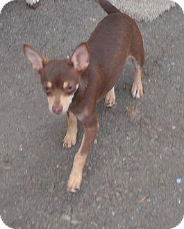 Chihuahua Puppy for adoption in Tumwater, Washington - Moe