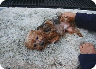 Yorkie, Yorkshire Terrier Dog for adoption in Crump, Tennessee - Paul Newman