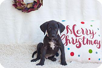 Great Dane Puppy for adoption in Auburn, California - Prince John