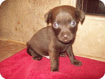 Chihuahua Mix Puppy for adoption in Oceanside, California - Cocoa