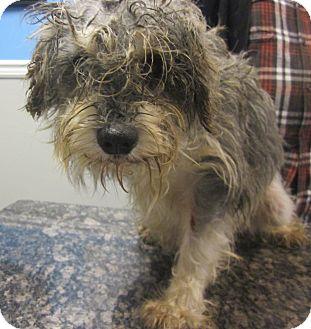 Schnauzer (Miniature) Dog for adoption in Oak Ridge, New Jersey - Raccoon