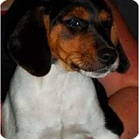 Adopt A Pet :: Pitaka - Albany, NY