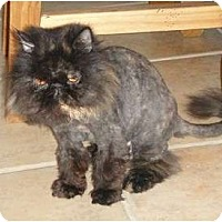 Adopt A Pet :: Eliza (front declaw) - Beverly Hills, CA