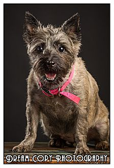 Cairn Terrier Mix Dog for adoption in Owensboro, Kentucky - Cricket
