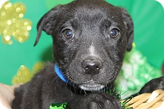 Labrador Retriever Mix Puppy for adoption in Waldorf, Maryland - Maryland