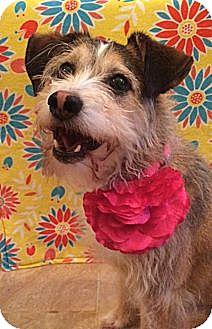 Border Terrier/Cairn Terrier Mix Dog for adoption in Carlisle, Pennsylvania - BELLA - NEEDS HOME!