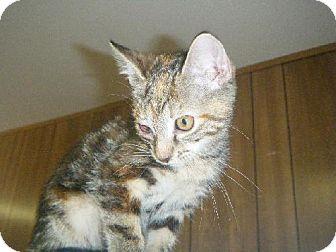 Domestic Shorthair Cat for adoption in Fort Walton Beach, Florida - Frenchy
