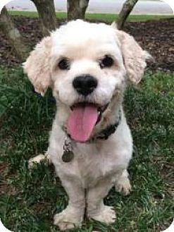 Cocker Spaniel Mix Dog for adoption in Irmo, South Carolina - Lucas