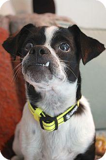Boston Terrier/Dachshund Mix Dog for adoption in Austin, Texas - Dekker