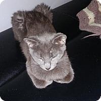 Adopt A Pet :: Grey Kitten - Chesterfield, VA