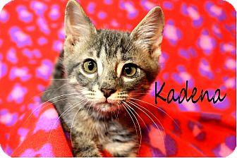 Domestic Mediumhair Kitten for adoption in Wichita Falls, Texas - Kadena