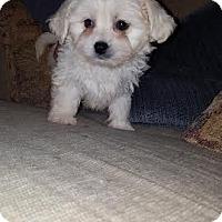 Adopt A Pet :: Piper - Algonquin, IL