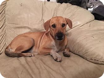 Beagle Mix Dog for adoption in Sterling Heights, Michigan - Bella